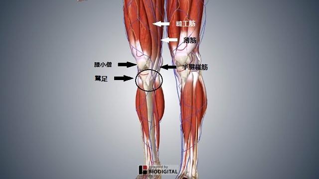 膝痛の筋肉のイラスト