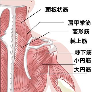 肩廻りの筋肉のイラスト