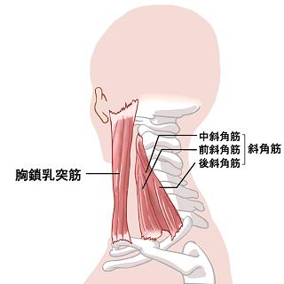 首の筋肉のイラスト