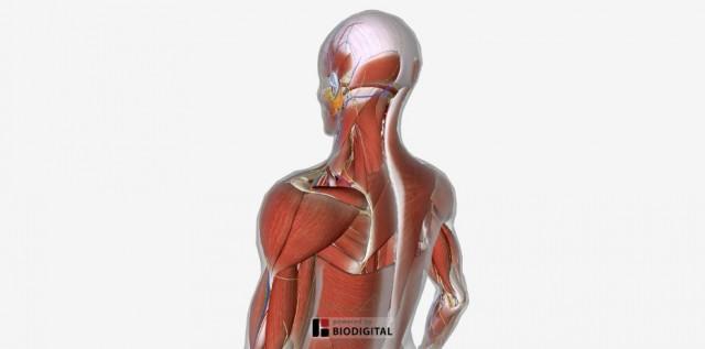 頭頚部から肩にかけての筋肉